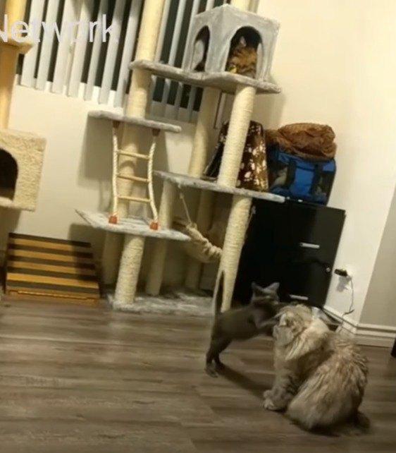キャットタワーで遊ぶ子猫
