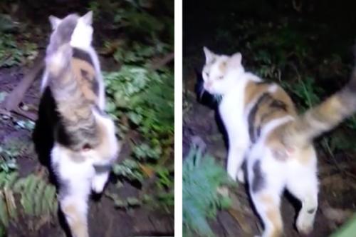 道案内をする猫