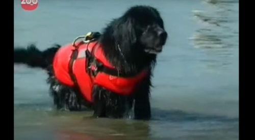 ライフジャケットを着た犬